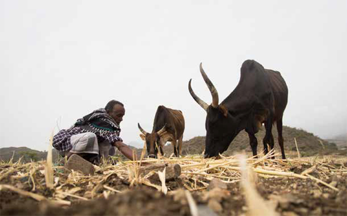 Sheriff hoped to sell the Teff harvest, but it failed due to draught. Now he uses it to sustain his remaining cows. Washa locality, Ankober. Photo: Hilina Abebe / Norwegian Church Aid, Ethiopia